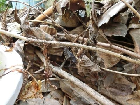 枯れ枝のサナギ