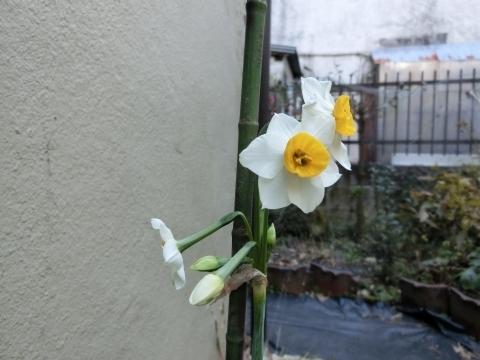 次々に咲く水仙