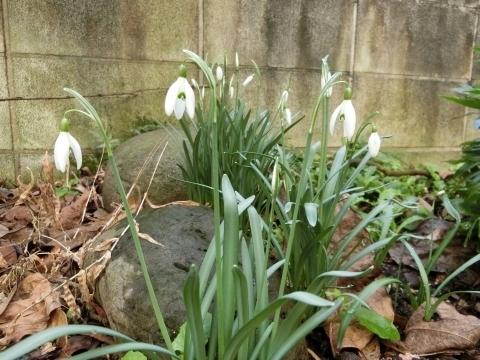 咲き始めたスノードロップ