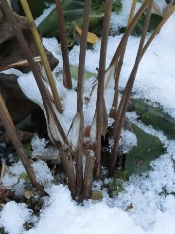 雪の中のシモバシラ拡大