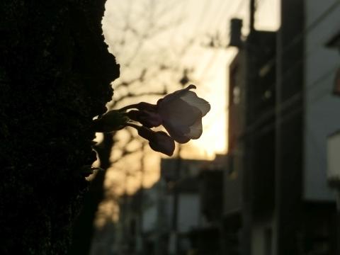 朝日に透けるソメイヨシノ