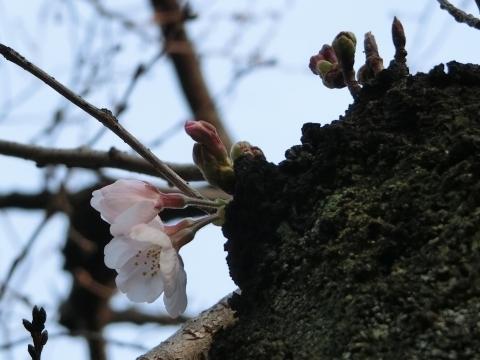 咲き始めたソメイヨシノ