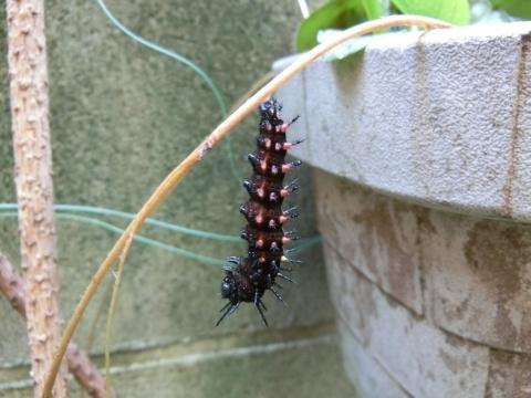 変態間近のツマグロヒョウモンの幼虫