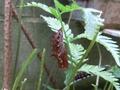 ツマグロヒョウモンの蛹3