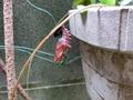 変態したばかりのツマグロヒョウモンの蛹
