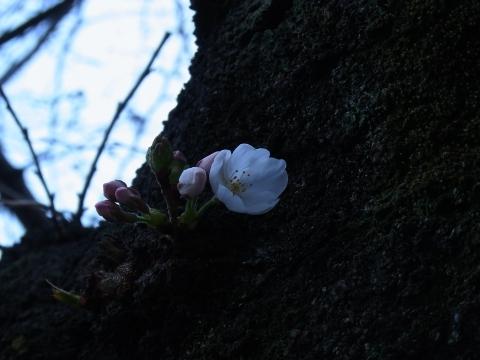 開花したばかりのソメイヨシノ4