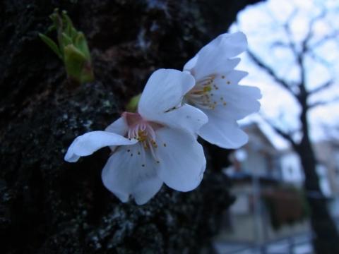 開花したばかりのソメイヨシノ3