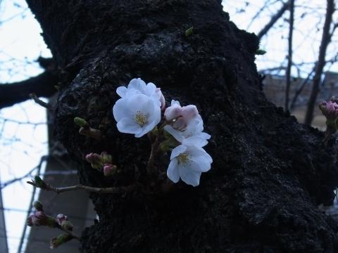 開花したばかりのソメイヨシノ5