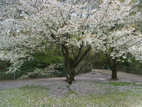 サクラ散る桜の木