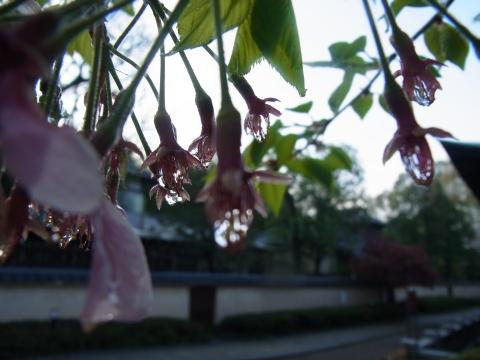 シベで咲いた雨粒の花