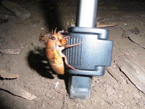 三脚の足に取り付いたセミの幼虫