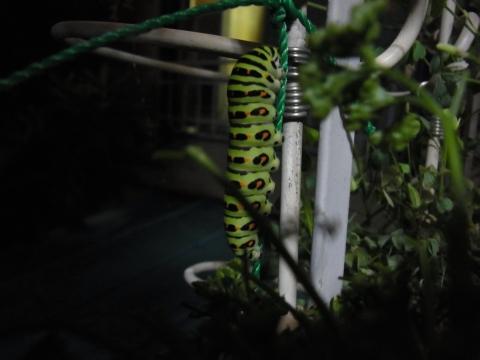 キアゲハの幼虫、蛹へ?