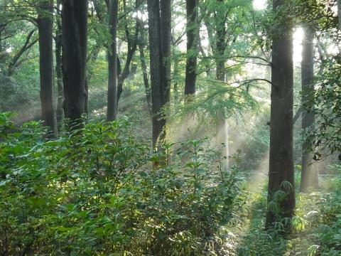 ラクウショウ林に溢れる光