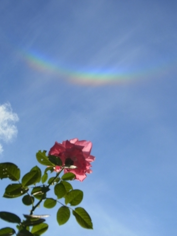 ピンクのバラと環天頂アーク