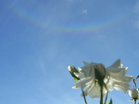 白いバラと環天頂アーク