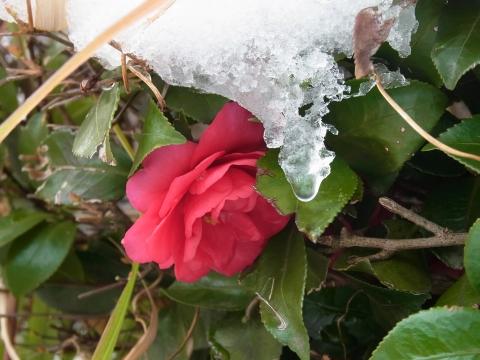 雪に耐える椿