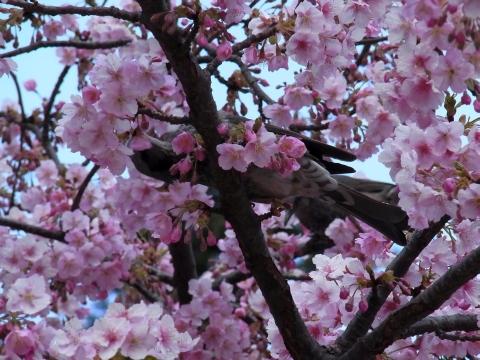 カワヅザクラの蜜を吸うヒヨドリ