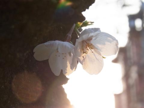 朝日を浴びるソメイヨシノ