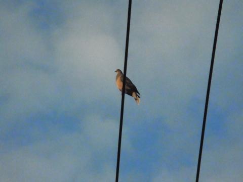 朝日に向かって鳴くハト