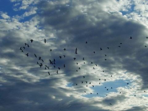 カワウの大群