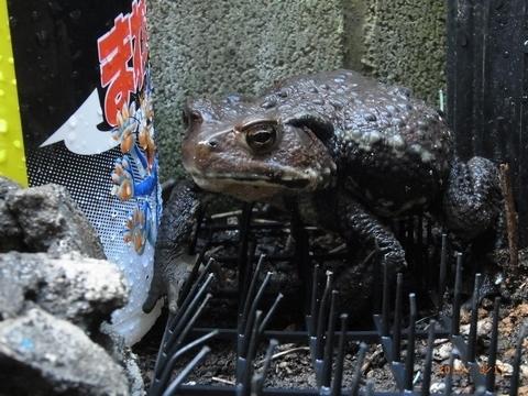 トゲトゲの上のガマガエル