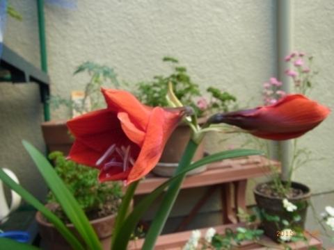 開花間近!