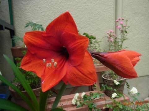 アマリリス開花