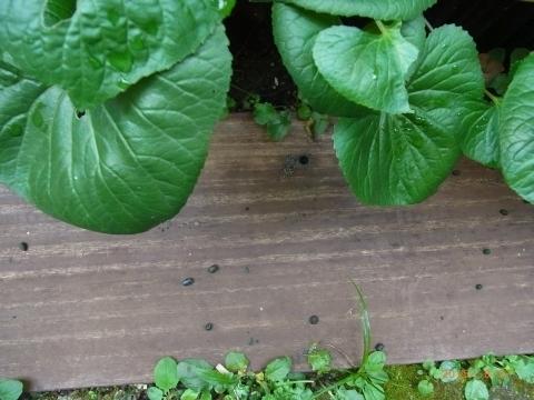 たくさんの緑の糞