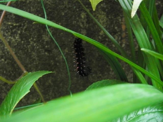 サナギの前の幼虫