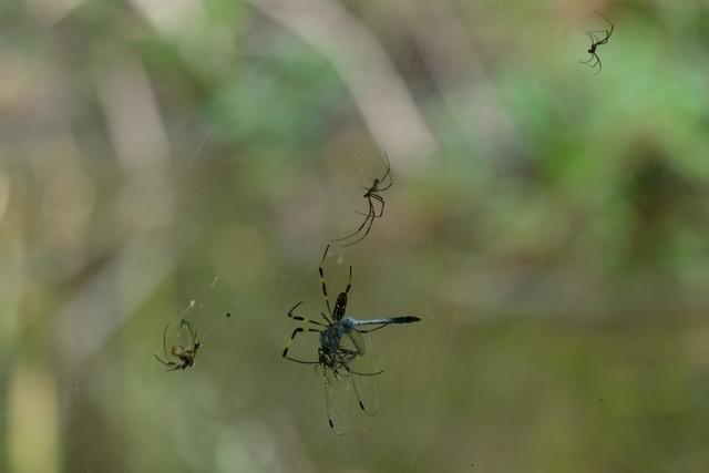 クモの巣にとらえられたシオカラトンボ