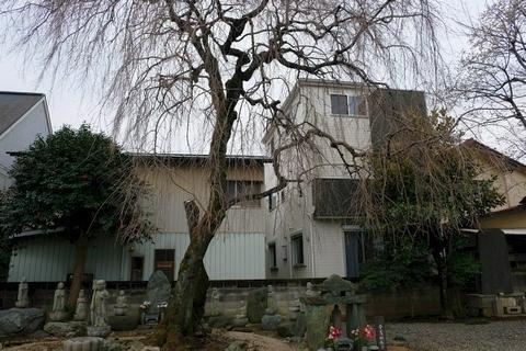 新光寺の枝垂れ桜