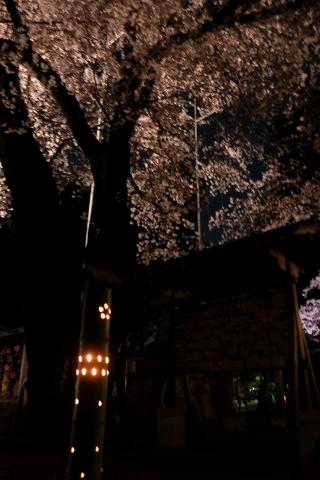 竹灯篭と桜
