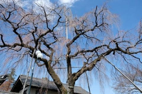 金仙寺枝垂れ桜を見上げて
