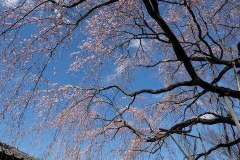 常楽院枝垂れ桜の枝先