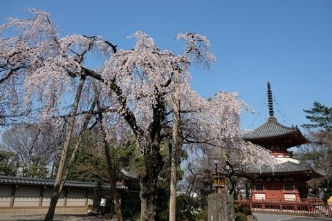 喜多院の枝垂れ桜2