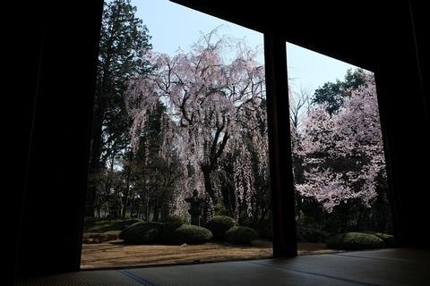 家光公お手植えの枝垂れ桜2