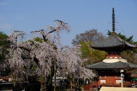 喜多院の枝垂れ桜3