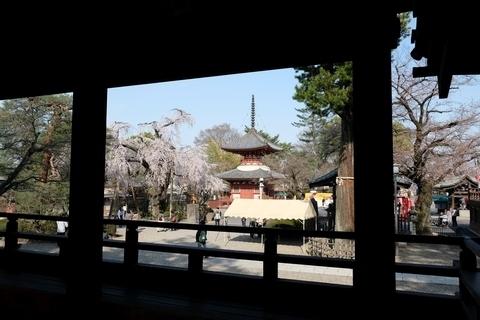 喜多院の枝垂れ桜4