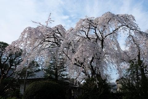 中院の枝垂れ桜