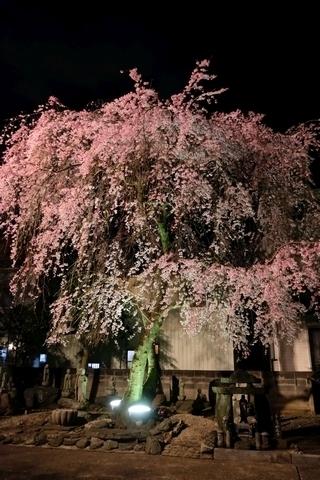 新光寺の枝垂れ桜・ライトアップ2
