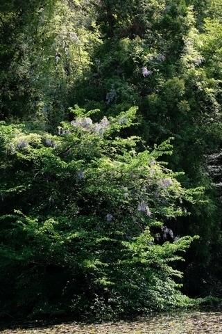 石神井公園の藤2