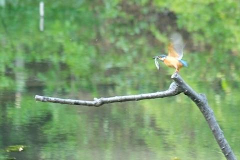 魚をくわえて飛び立つカワセミ