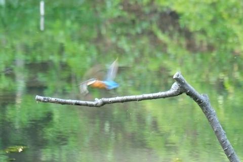 魚をくわえて飛ぶカワセミ