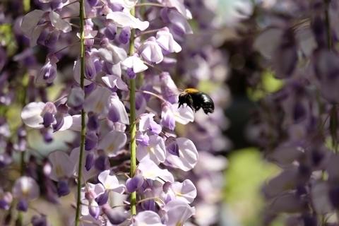 藤とクマバチ2