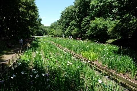 智光山公園花菖蒲園1