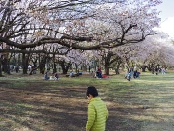 桜の下のゆ