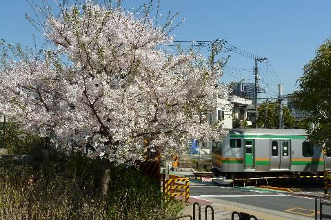 新宿湘南ラインとサクラ