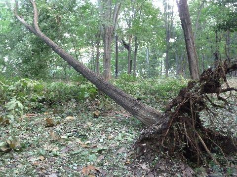 倒れた木3