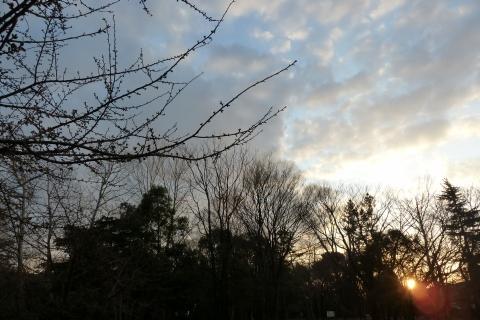 朝日を浴びる河津桜
