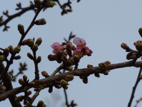 花開いた河津桜